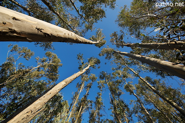 Picture of eucalyptus trees in North Corsica