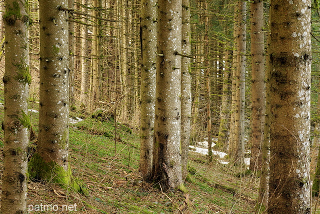 Photograph of coniferous trees in Haut Jura Natural Park