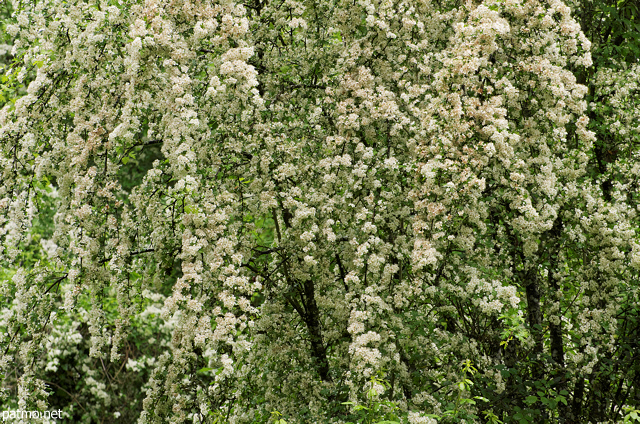 Photograph of white blossoms in Sallenoves forest