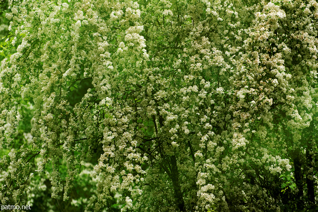 Image with green foliage and white blossoms in Sallenoves forest
