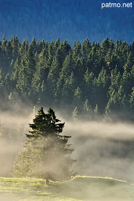 Image of some coniferous trees in the mist at sunrise