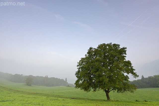 Picture of a nut tree by a misty autumn morning