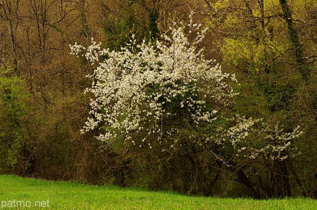 Nouvelles images arbre en fleurs dans une haie de printemps - Arbre fleurs rouges printemps ...