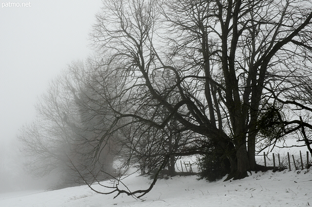 Photo of an old tree in the snow and mist
