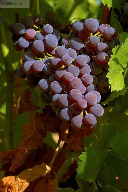 photos de vignes grappe de raisin sur pied massif des maures. Black Bedroom Furniture Sets. Home Design Ideas