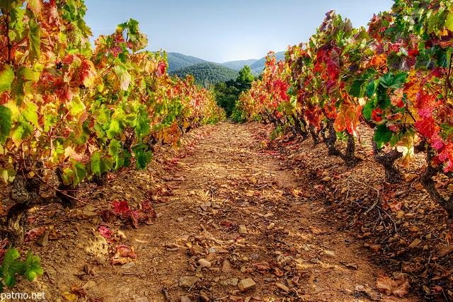 Champ De Vigne photos de vignes - paysage de vignes en automne