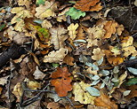 Photo of some autumn leaves on forest ground in Provence