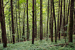Picture of the green Valserine forest in summer