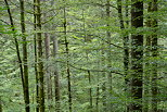 Photograph of trees, branches and foliage in Valserine forest