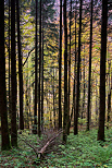 Photograph of decideous and coniferous trees in autumn in Valserine forest
