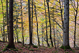 Image of the autumn colors in Valserine forest