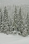 Photograph of coniferous trees under a snow fall in Valserine forest