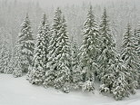 Photograph of the pine trees in Valserine forest under a snowfall