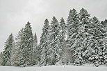 Image of pine trees in the snow - Haut Jura Natural Park