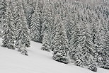Photograph of coniferous trees i the snow