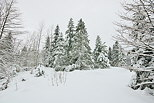 Photo of the forest of Valserine valley under the snow