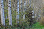 Image of poplar trees in the french forest, Chautagne area