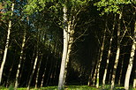 Photo of a poplars forest in Chautagne