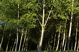 Picture of a poplars forest in light and shadow