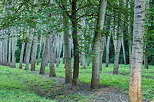 Photo of poplars trees in rows in Chautagne state forest