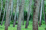 Photograph of poplars trunks in Chautagne forest