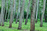 Image of poplars trees in Chautagne state forest