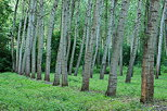 Photograph of the rows of poplars trees in Chautagne forest