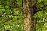 Image of a beech tree in the forest