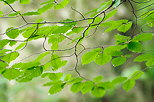 Image of some green beech leaves
