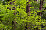 Image of green beech leaves surrounding coniferous trunks