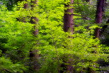 Photo of coniferous trunks surrounded by green beech leaves