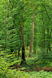 Image of trunks and foliage in Jura forest