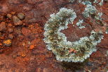 Picture of lichen on the red rocks of La Plaine des Maures in Provence