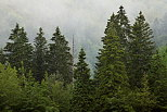 Photo of pine trees in the morning mist