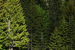 Photograph of coniferous trees in Aravis mountains
