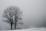 Picture of two trees in the winter fog