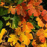 Photograph of colorful vines leaves in autumn