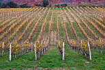 Photo of the vineyard in autumn, Chautagne