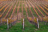 Picture of vines rows in autumn