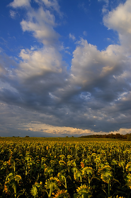 photo champs de tournesols