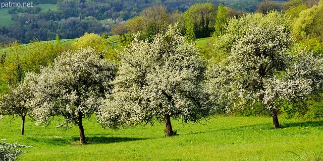 Nouvelles images arbres fruitiers en fleurs au printemps - Arbre fleurs rouges printemps ...