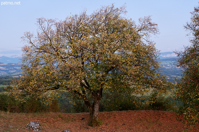 Photo of a lime tree in the evening light
