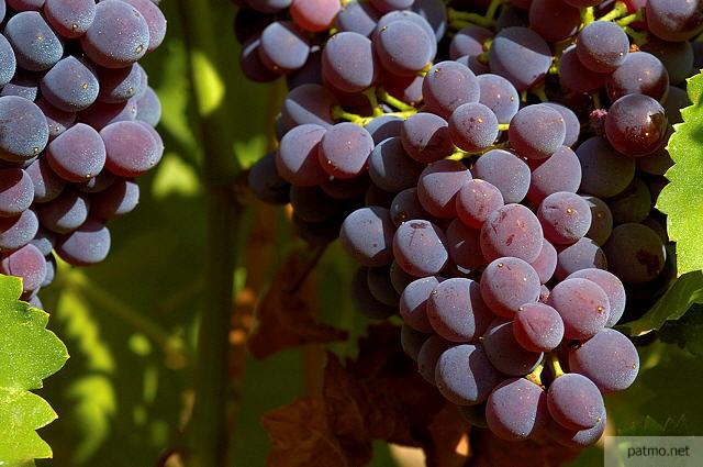 photos de vignes grappes de raisin sur pied massif des maures. Black Bedroom Furniture Sets. Home Design Ideas