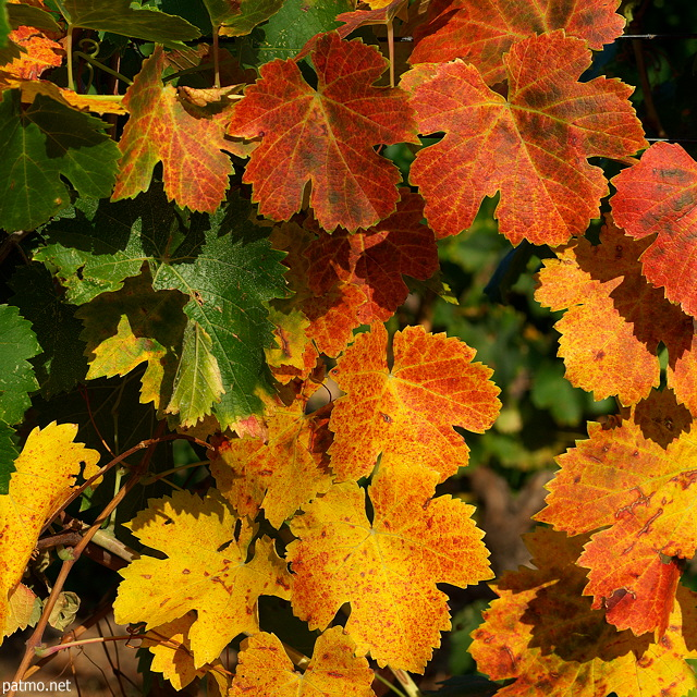 Feuilles de vignes en automne