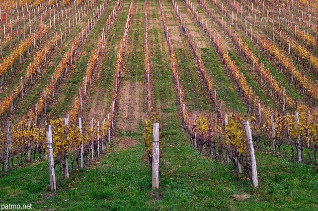 Champ De Vigne photos de la savoie - champ de vignes en automne dans le vignoble de