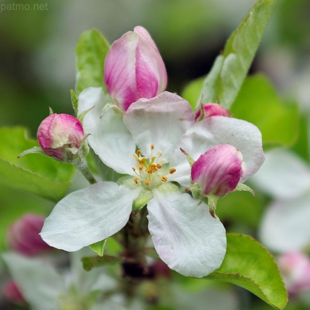 nouvelles images fleur de pommier au printemps. Black Bedroom Furniture Sets. Home Design Ideas