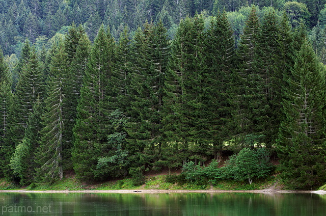 Image of green coniferous trees on the banks of lake Vallon in Bellevaux