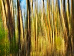 Abstract image of light in eucalyptus forest - North Corsica