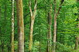 Image of trunks and green foliage in the french Jura forest