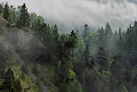 Picture of french Jura forest in a misty summer morning